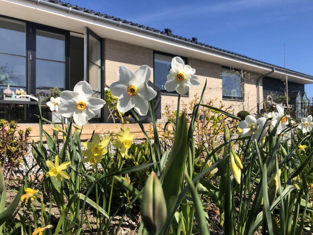 Narcissus Actae